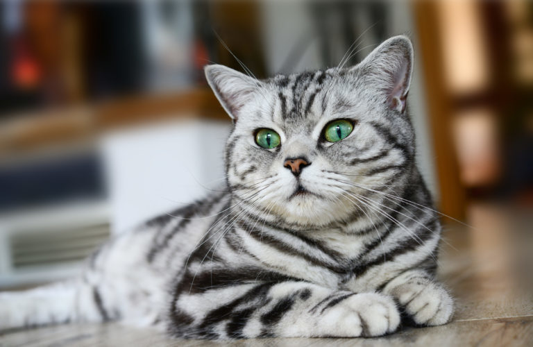 Chat british-shorthair